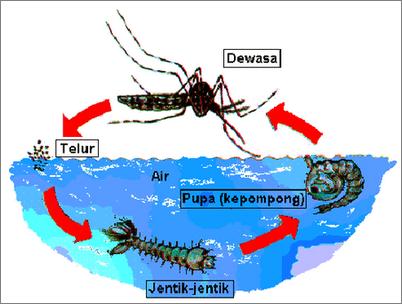 47++ Tuliskan siklus hidup hewan nyamuk terbaru